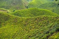 Erstaunliche Landschaftsansicht der Teeplantage im Sonnenuntergang, Sonnenaufgangzeit Lizenzfreies Stockfoto