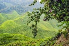 Erstaunliche Landschaftsansicht der Teeplantage im Sonnenuntergang, Sonnenaufgangzeit Lizenzfreies Stockbild