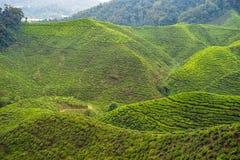 Erstaunliche Landschaftsansicht der Teeplantage im Sonnenuntergang, Sonnenaufgangzeit Lizenzfreie Stockbilder