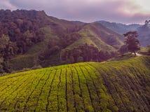 Erstaunliche Landschaftsansicht der Teeplantage im Sonnenuntergang, Sonnenaufgangzeit Lizenzfreie Stockfotografie
