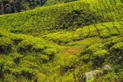 Erstaunliche Landschaftsansicht der Teeplantage im Sonnenuntergang, Sonnenaufgangzeit Naturhintergrund mit blauem Himmel und nebe Lizenzfreies Stockbild