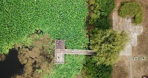 Erstaunliche Luftbrummenvorratgesamtlänge von blühenden Lotos stock footage
