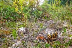 Erstaunliche männliche Ostdosenschildkröte Stockfotos