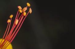 Erstaunliche Nahaufnahme des lokalisierten mexikanischen Vogel-Od-Paradies-Staubgefässes Lizenzfreie Stockbilder