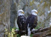 Erstaunliche Paare von zwei Weißkopfseeadlern in einer Stange Stockfotos
