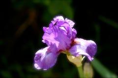 Erstaunliche purpurrote Garten-Blume Stockfoto