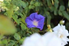 Erstaunliche purpurrote Rebe Lizenzfreie Stockfotos