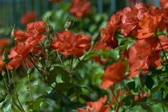 Erstaunliche Rosen Stockbild