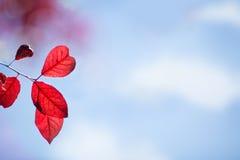 Erstaunliche und bunte Niederlassungen mit roten Blättern auf einem sonnigen und hellen blauen Hintergrund Atemberaubende bunte U Lizenzfreie Stockfotos