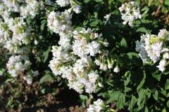 Erstaunliche weiße Blumen wachsen unter dem grünen Gras Stockbilder