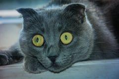 Erstaunliche wunderbare Katze Scottishfalte stockbilder