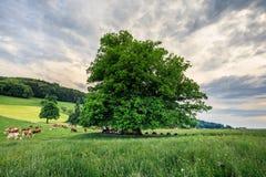 Erstaunlicher alter Lindenbaum unter großartigem Himmel in linn Aargau-hdr stockbild