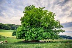 Erstaunlicher alter Lindenbaum unter großartigem Himmel in linn Aargau-hdr lizenzfreie stockfotos