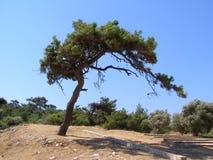 Erstaunlicher Baum im Wald, Thasoss, Griechenland Lizenzfreies Stockfoto