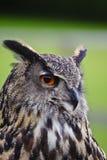 Erstaunlicher europäischer Adlereule Bubo Bubo Stockbilder