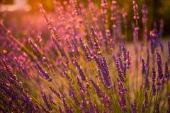 Erstaunlicher Farbsonnenuntergang Lavendel im Garten Lizenzfreies Stockbild