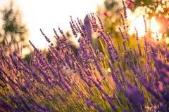 Erstaunlicher Farbsonnenuntergang Lavendel im Garten Stockfoto