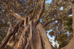 Erstaunlicher großer tropischer Baum im Süden Stockbild