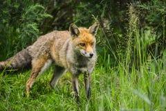 Erstaunlicher männlicher Fuchs im langen üppigen grünen Gras des Sommerfeldes Lizenzfreies Stockfoto