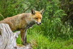 Erstaunlicher männlicher Fuchs im langen üppigen grünen Gras des Sommerfeldes Lizenzfreie Stockbilder