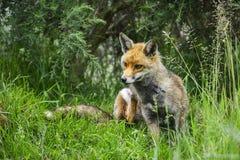 Erstaunlicher männlicher Fuchs im langen üppigen grünen Gras des Sommerfeldes Stockbilder