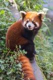Erstaunlicher orange Panda Stockfoto