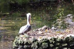 Erstaunlicher Pelikan auf den Fluss-Felsen stockfoto