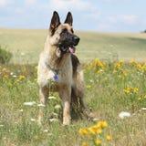 Erstaunlicher Schäferhund, der auf grünem Feld steht Lizenzfreie Stockbilder