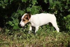 Erstaunlicher Steckfassungsrussell-Terrierwelpe im Garten Stockfoto
