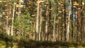 Erstaunlicher Wald, Bäume reflektierte sich im Wasser des Sees stock video