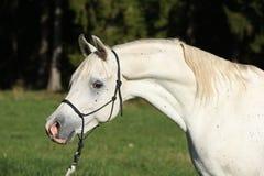 Erstaunlicher weißer Hengst des arabischen Pferds Stockfotografie