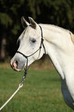 Erstaunlicher weißer Hengst des arabischen Pferds Stockbilder