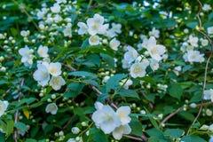 Erstaunlicher weißer Jasmin blüht auf dem Busch im Garten Stockfotografie