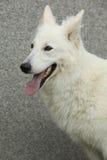 Erstaunlicher weißer Schweizer Schäfer Dog Lizenzfreies Stockbild