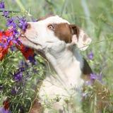 Erstaunlicher Welpe des Amerikaners Pit Bull Terrier in den Blumen Stockfotos