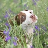 Erstaunlicher Welpe des Amerikaners Pit Bull Terrier in den Blumen Stockbilder