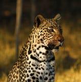 Erstaunlicher wilder Leopardalarm Botwana-` s in der Buschsteppe Lizenzfreies Stockbild
