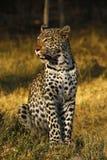 Erstaunlicher wilder Leopardalarm Botwana-` s in der Buschsteppe Lizenzfreie Stockbilder