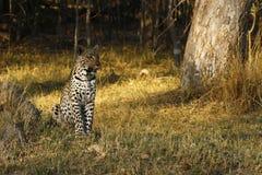 Erstaunlicher wilder Leopardalarm Botwana-` s in der Buschsteppe Stockfotografie