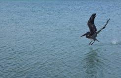 Erstaunliches Aktionsfoto einer Pelikanlandung in den Ozean Stockbild