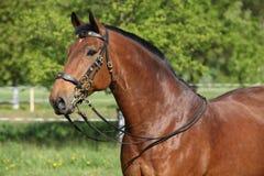 Erstaunliches braunes Pferd mit schönem Zaum Lizenzfreies Stockbild