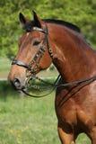 Erstaunliches braunes Pferd mit schönem Zaum Stockfoto