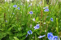Erstaunliches grünes Feld mit netten kleinen blauen Blumen im Makroschuß Stockbild