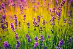 Erstaunliches Lavendelfeld Bunter Sommerblumen-Landschaftshintergrund Stockbilder