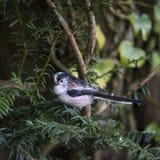 Erstaunliches Porträt langschwänzigen Vogels Meise Aegithalos Caudatus herein Lizenzfreie Stockbilder