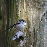Erstaunliches Porträt langschwänzigen Vogels Meise Aegithalos Caudatus herein Stockfoto
