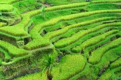 Erstaunliches Reis-Terrassefeld, Ubud, Bali, Indonesien Stockbild