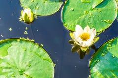 Erstaunliches schönes Teichmakro des Wildwassers lilly Stockfoto