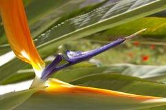Erstaunliches sterlitzia reginea der Blumenparadiesvogel Lizenzfreie Stockfotos