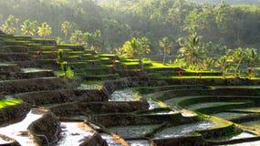 Erstaunliches Terrassen-Reis-Feld Lizenzfreie Stockbilder